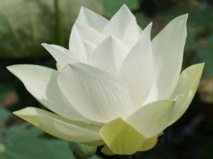 Fiore loto vacanza olistica